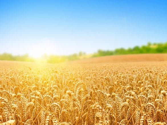 Full-HD-Field-of-Wheat-Wallpapers